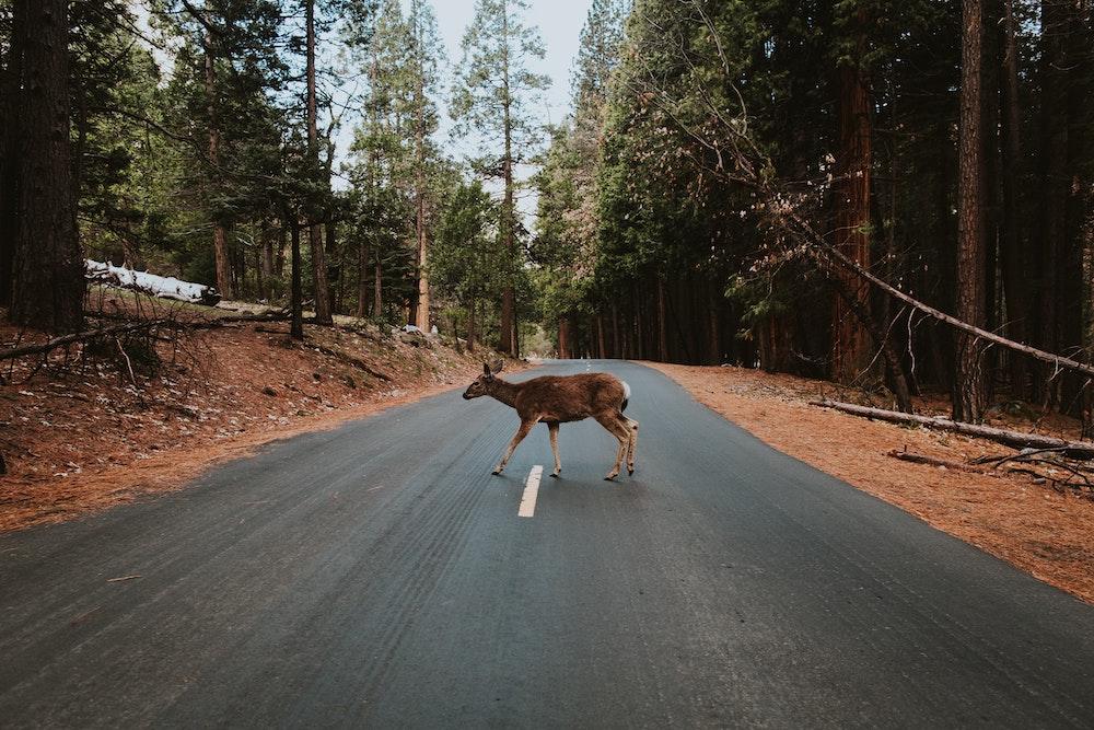 Can wildlife crossings help animals cross highways more safely?