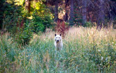 Oregon Wolves and Livestock Updates
