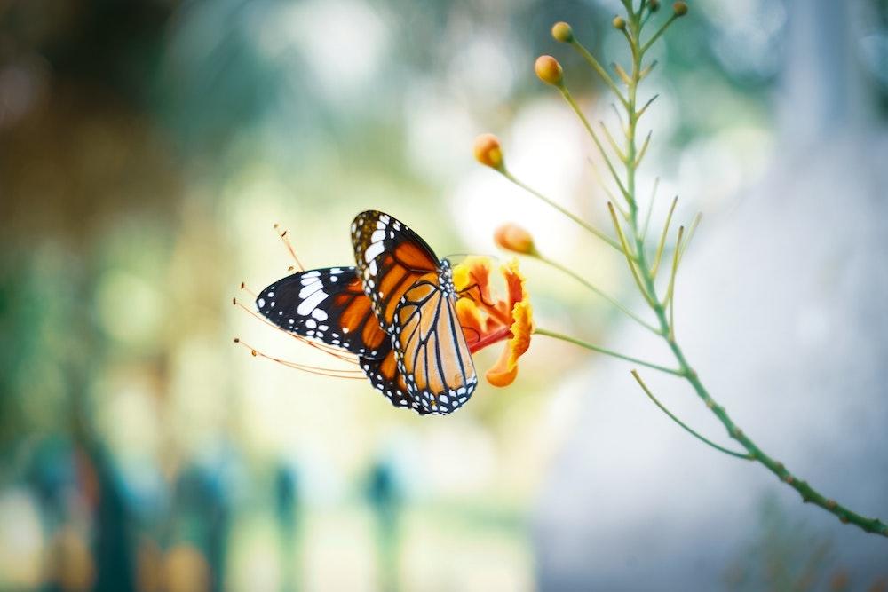 Monarch Butterflies Have Declined 90%