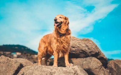Canine Deep Dive: Golden Retrievers