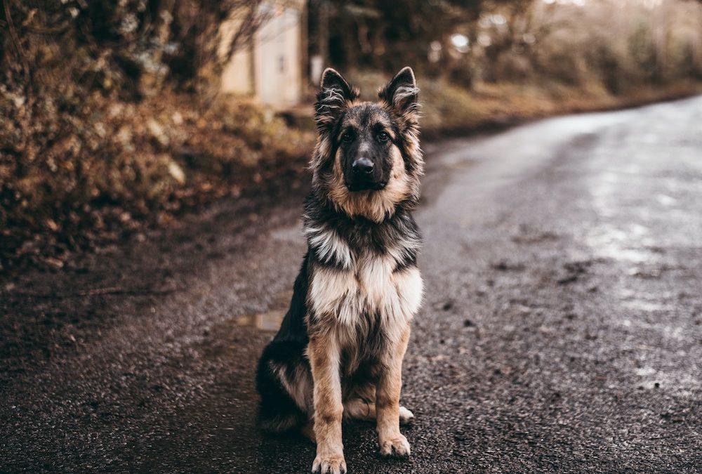 Canine Deep Dive: German Shepherds