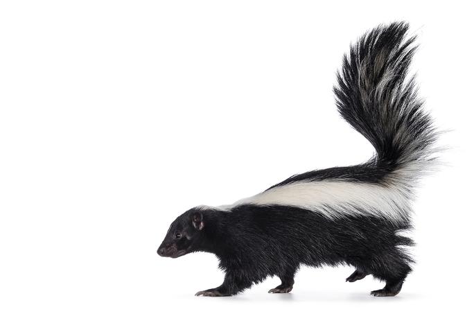 Misunderstood Mesos: The Striped Skunk